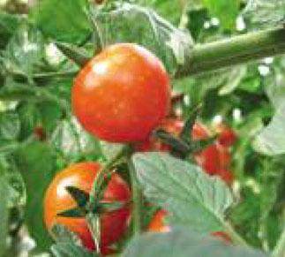 Alterazioni cromatiche circolari su bacche di pomodoro ciliegino