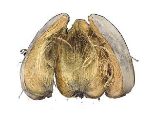 noce di cocco substrati