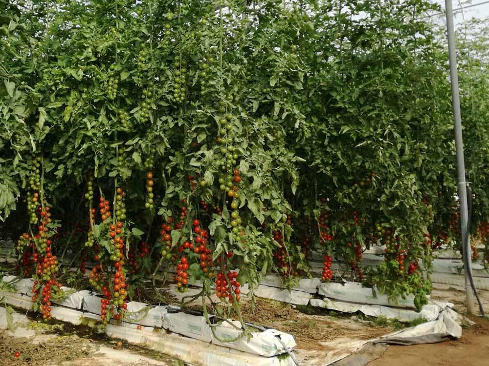 laurus srl agronomi coltivazione idroponica gallery 11740x555